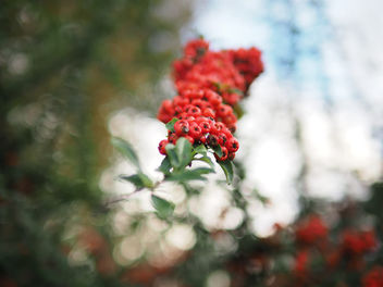 Mountain ash - Free image #456283