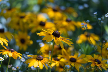 Rudbeckia ~ Huron River and Watershed - Free image #456603