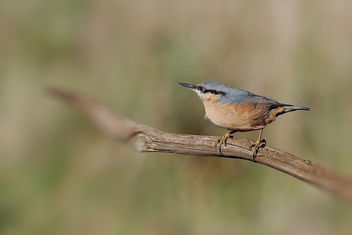 Nuthatch - Free image #457163