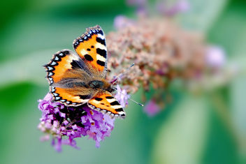 Small Tortoiseshell Butterfly - Kostenloses image #457183