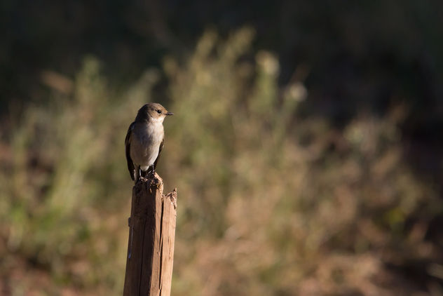 Pied Flycatcher - Free image #457243
