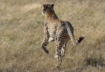 Cheetah on The Hunt, Maasai Mara - Free image #457263