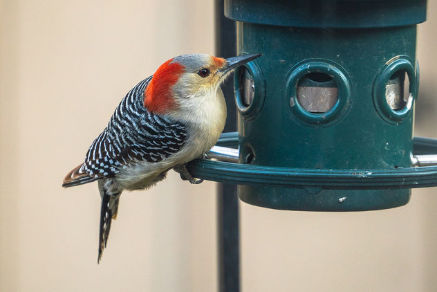 The Return of My Favorite Woodpecker... - Free image #457293