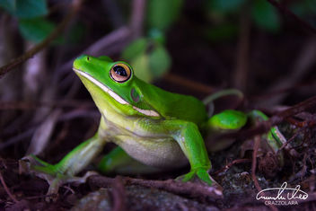 White-lipped tree frog - image gratuit #457303