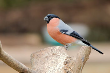 Male Bullfinch - Free image #457413