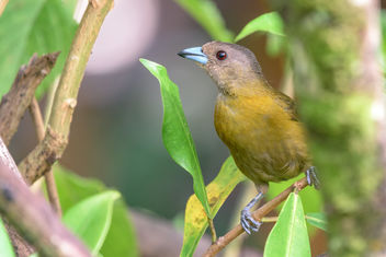 Scarlet-rumped Tanager (Passerini's) (female) - Free image #457933