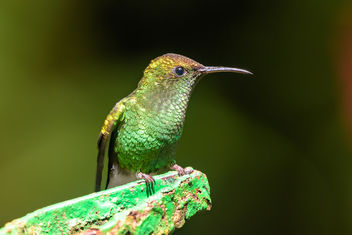 Coppery-headed Emerald Hummingbird - Free image #458003
