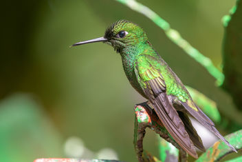 Green-crowned Brilliant Hummingbird - Free image #458033