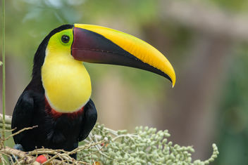 Yellow-throated Toucan - Free image #458133
