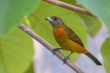 Scarlet-rumped Tanager (Cherrie's Tanager) (f) - Free image #458203