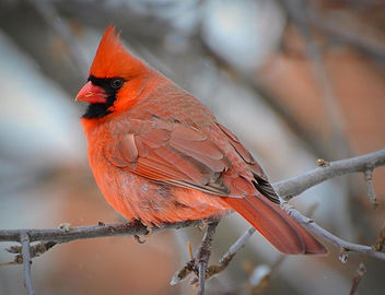Where Have All The Cardinals Gone? - image gratuit #458213