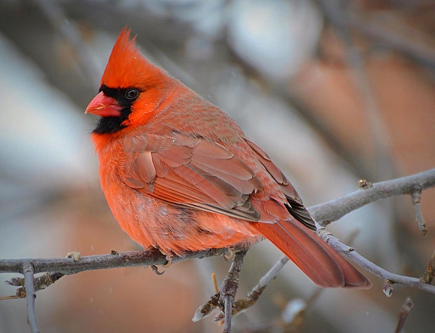 Where Have All The Cardinals Gone? - Free image #458213