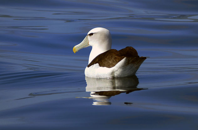 White-capped albatross (Thalassarche cauta steadi) - Free image #458223