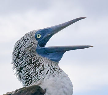 Blue-Footed Booby, Galapagos - Free image #458283