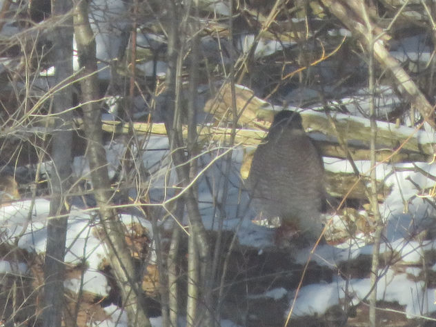 Can you see the Coopers Hawk? - Free image #458303
