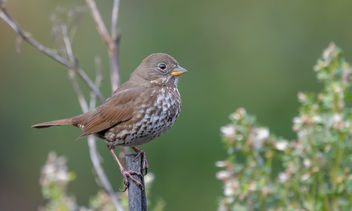 Fox Sparrow (Sooty) - Free image #458483