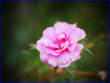 pink moss rose purslane flower - бесплатный image #458703