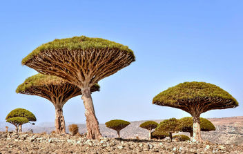 Dragon's Blood Trees - Kostenloses image #458863