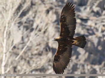 Golden Eagle (Aquila chrysaetos) - Kostenloses image #458973