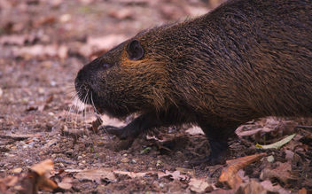 The day I met a nutria - Free image #459023