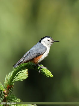 White-cheeked Nuthatch (Sitta leucopsis) - Free image #459213