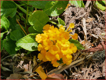 17Feb2019 - small orange flowers found on the ground - image gratuit #459243