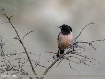 Rosy Starling (Pastor roseus) - Kostenloses image #459263