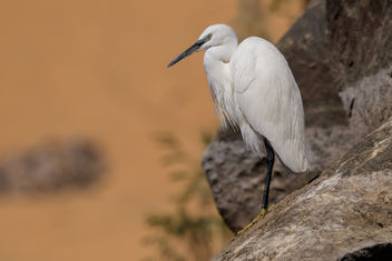 Little Egret - Free image #459313