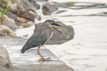 Striated Heron - Free image #459373