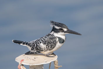 Pied Kingfisher - Free image #459453