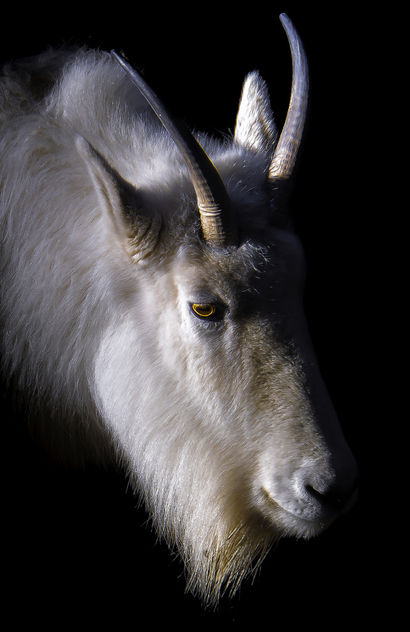 Portrait of a Goat - Free image #459493