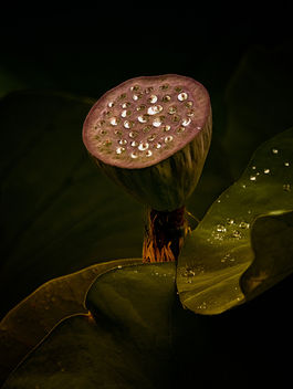Pod and Water Drops - Free image #459513