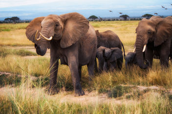 African Bush Elephants, Amboseli National Park - бесплатный image #459543
