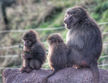 Baboon Family. - Kostenloses image #459743