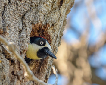 Acorn Woodpecker (f) preparing nest - Free image #459753
