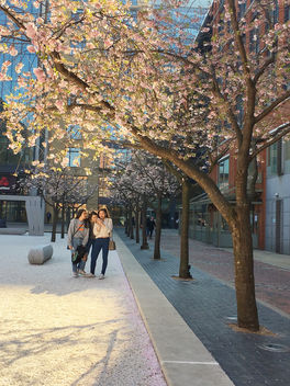 Cherry blossoms, Brinkley, Birmingham - бесплатный image #459993