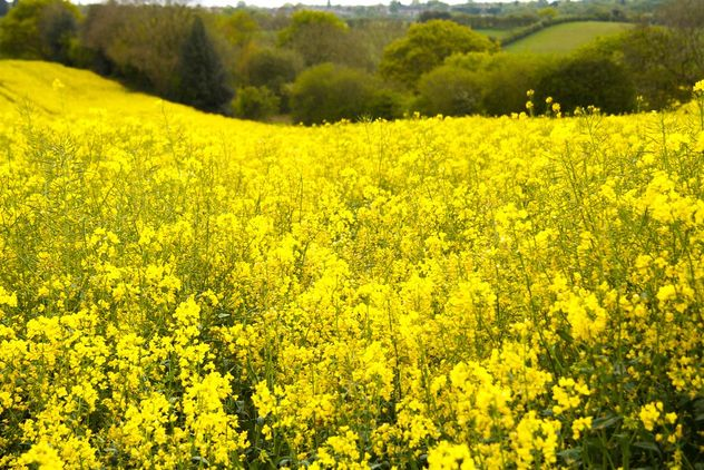 Rapeseeds farms, Burntwood, England - image gratuit #460883