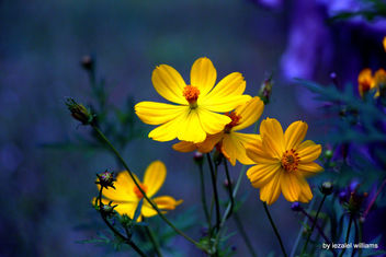 Living together - Cosmos flowers by iezalel williams - IMG_0278-002 - Canon EOS 700D - Kostenloses image #461443