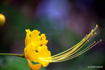Profile of a Yellow mexican birds of paradise flower by iezalel williams - IMG_7691-005 - Canon EOS 700D - image #461463 gratis