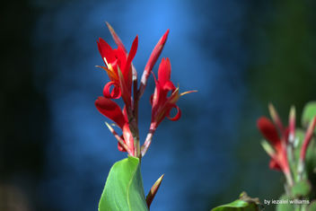 Canna Indica- Exotic flowers by iezalel williams IMG_5649-001 - Canon EOS 700D - image #461473 gratis