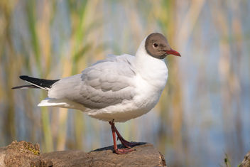 Black-headed Gull (breeding plumage) - image #461493 gratis