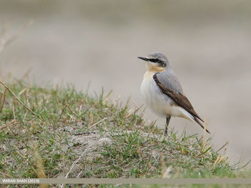 Northern Wheatear (Oenanthe oenanthe) - image gratuit #461503