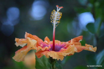 Hibiscus Orange by iezalel williams - IMG_5029-004 - Canon EOS 700D - Kostenloses image #461573