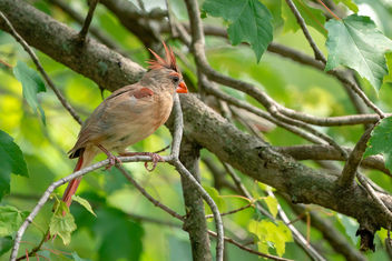 Female Cardinal in Tree - Free image #461943
