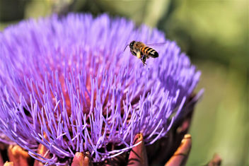Honey bee and artichoke bloom - image #462053 gratis
