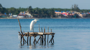 White Heron in front of Playa Larga - image gratuit #462093