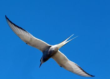 The flying Arctic tern... - Kostenloses image #462253