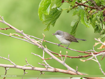 Lesser Whitethroat (Sylvia curruca) - Free image #462463