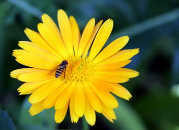 The yellow beauty and fly... - Kostenloses image #463133