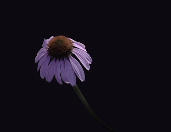 Low Key single Cone Flower - Free image #463333